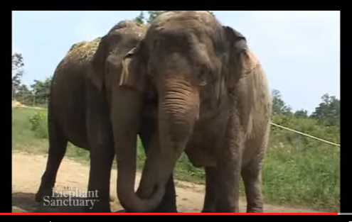 My Favorite Documentary About Elephants, Jenny and Shirley