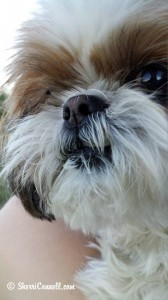 Snickers the Shih Tzu. SherriConnell.com